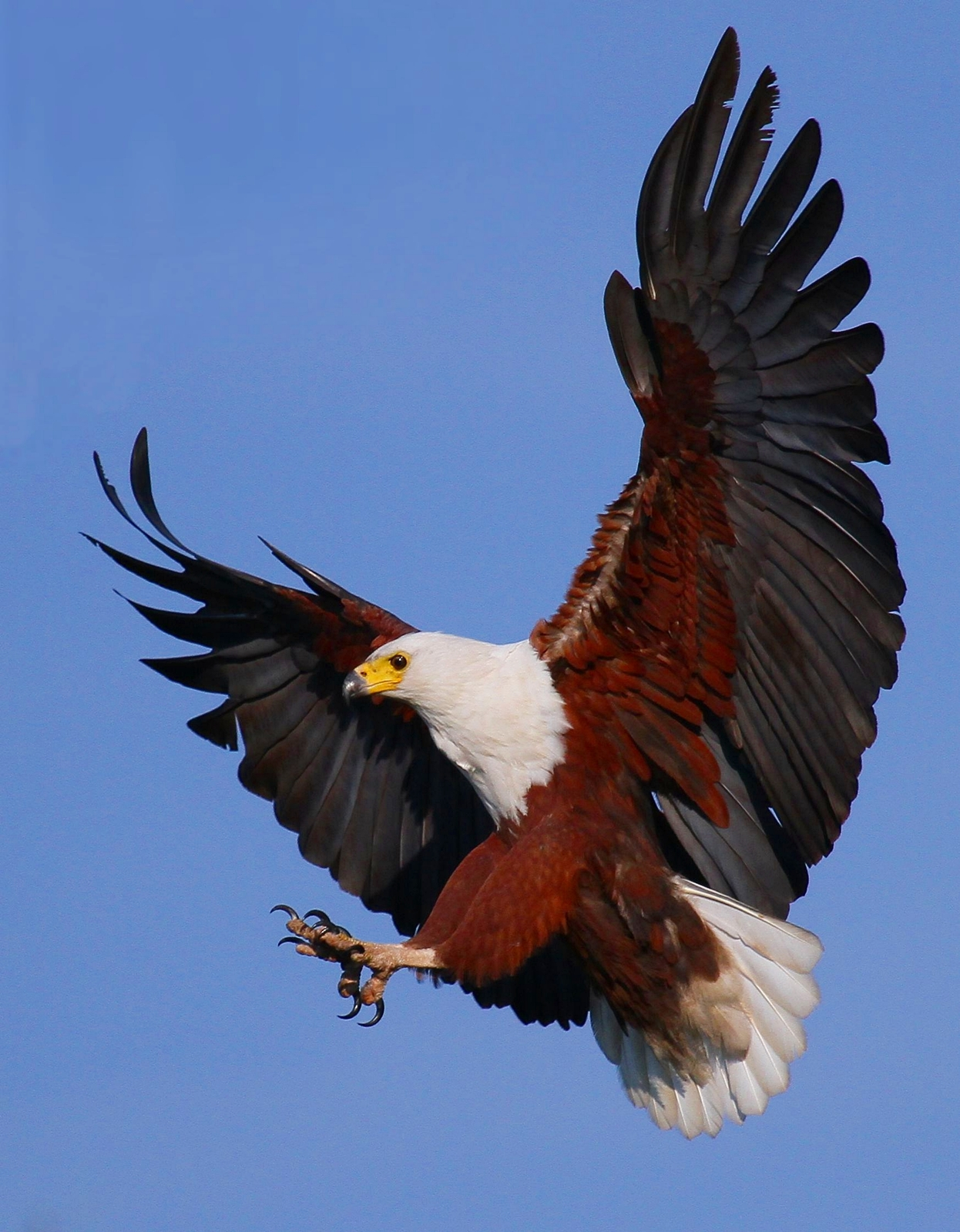 Sunday refreshment wings like eagles isaiah 40 27 31 for Wings fish